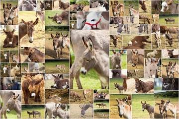 collage de photos d'anes, ânes