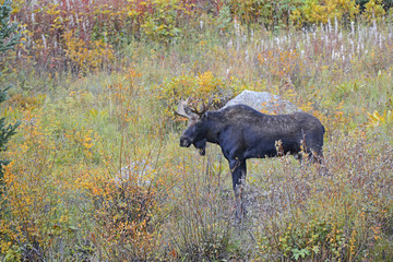 Bull Moose with antlers in grass with autumn colors