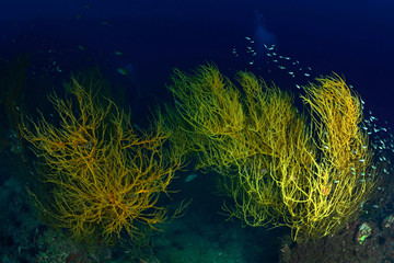 Branching black coral in Chumpron national park, Thailand.