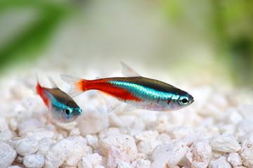 Neon Tetra Paracheirodon innesi freshwater tropical fish