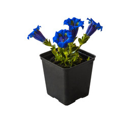 Gentian (Gentiana grandiflora)  plant in a flowering pot on whit