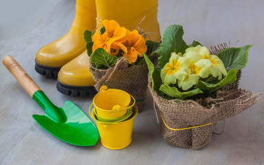 Yellow primula on a background of yellow boots
