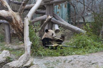 ウィーン シェーンブルン動物園のパンダ(世界で最も古い動物園)Tiergarten Schönbrunn