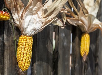 Corn cobs hanging on a fence at an agricultural fair