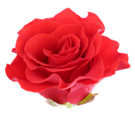 beautiful rose flower, isolated on white
