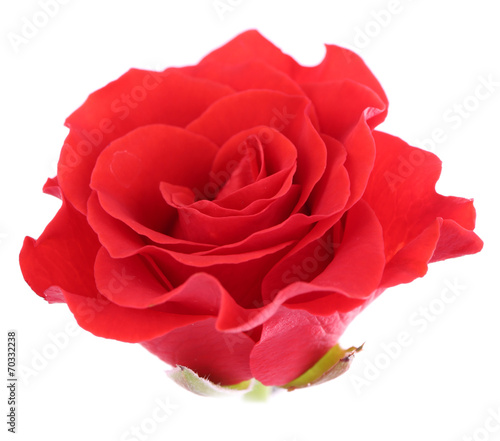 canvas print picture beautiful rose flower, isolated on white