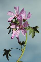 Malva sylvestris. Malva Común con flores.