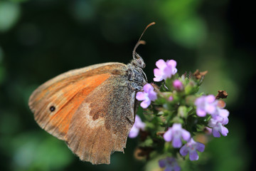 Brown Butterfly on the pink Flower in the green Nature