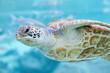 Green  turtle (Chelonia mydas), Bora Bora