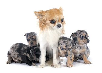 puppies and adult chihuahua