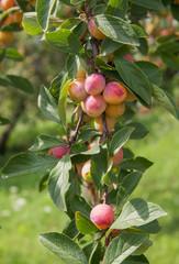 Mirabelles sur son arbre en Alsace au mois d'août