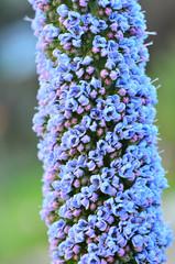 Many purple small flowers