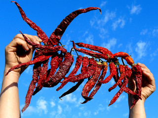 hands holding bunch of dry hot chili peppers