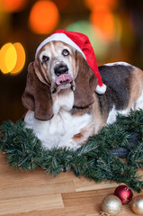 Basset Hound sticks tongue out at Christmas