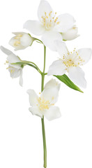 illustration with white isolated jasmin branch