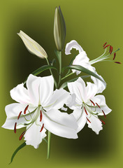 bunch of three white lily flowers on green background
