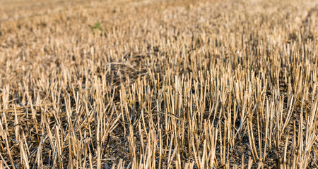 Stubble field from close