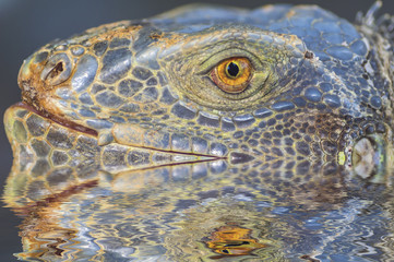 Portrait of macro shot on iguana head