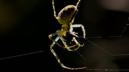Spinne verspeist Beute im Netz