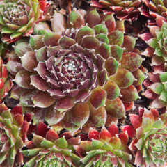 Hairy leaved Sempervivum Fuego plant