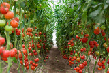 Tomatoes ripening in a greenhouse, Ukraine