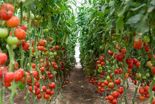 In de dag Planten Tomatoes ripening in a greenhouse, Ukraine