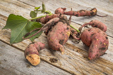 sweet potato freshly harvested