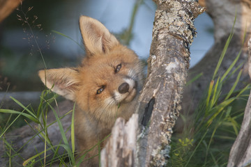 Fox-cub use stem of grass as dental floss