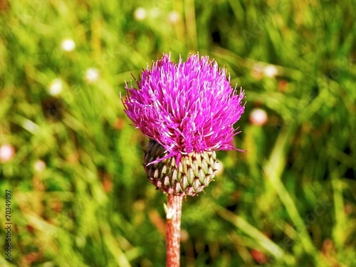 canvas print picture Plant thistle on summer meadow