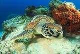 Fotoroleta Green Turtle rubs shell against coral
