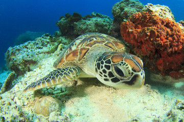 Green Turtle rubs shell against coral