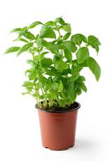 Fresh basil in flowerpot