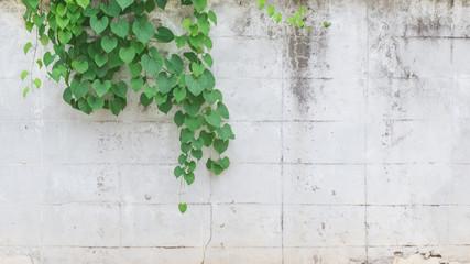 vine on white wall background
