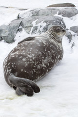 Weddell seal lying in the snow near the rocks in Antarctica