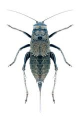 Grasshopper Onconotus servillei