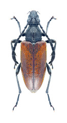 Beetle Paracorymbia excisipes