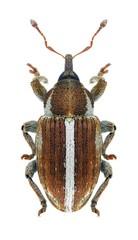 Beetle Tychius uralensis
