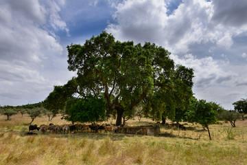 Rebanho de ovelhas à sombra da Azinheira