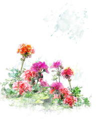 Watercolor Image Of  Geranium Flowers