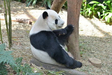 Panda in A Zoo Enclosure