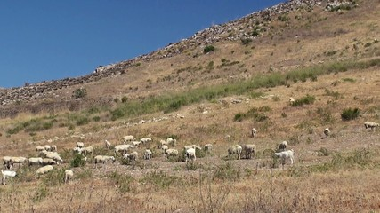 Herd of sheep on a mountain pasture. Sicily
