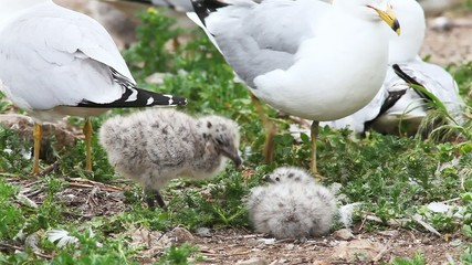 Two Ring-billed Gull young with adult