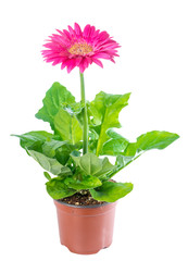 blooming pink flower gerbera in flowerpot is isolated on white b