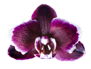 closeup of head dark cherry with white rim orchid phalaenopsis i