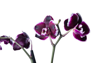 dark cherry with white rim orchid phalaenopsis is isolated on wh