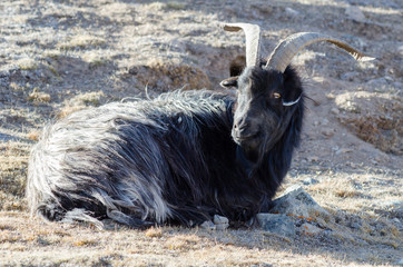 Old grey-haired Tibetan goat is sitting on a mountain slope