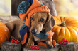 canvas print picture - dog knitted hat and scarf, dachshund
