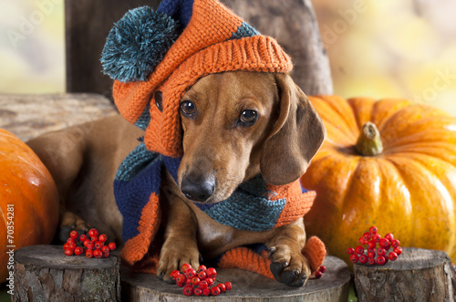 canvas print picture dog knitted hat and scarf, dachshund