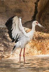 Portrait of a stork, having a bath