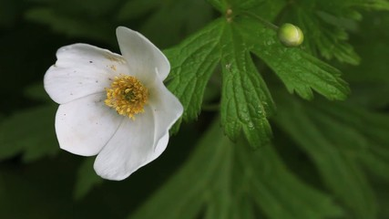 The Canada Anemone, Anemone canadensis
